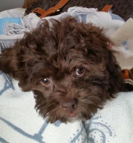 Darling Shih Poo Female Chocolate Puppy For Sale In