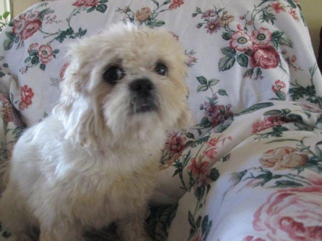 shih tzu poodle mix rescue darling shih tzu poodle mix for adoption for sale in 6251