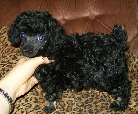 Darling Toy Poodle Puppy Black And Tan Phantom For In Arizona Louisiana
