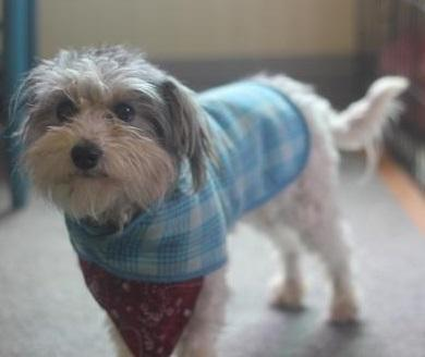 Davey Havanese Young - Adoption, Rescue for Sale in Apple