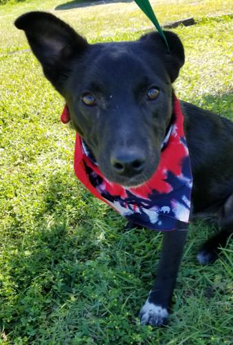 David Border Collie Baby - Adoption, Rescue for Sale in