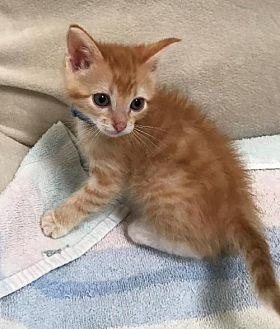 Dearborn Domestic Shorthair Kitten Male