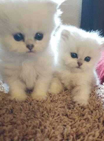Dearheart Silver Persian Kittens For Sale In Las Vegas Nevada Classified Americanlisted Com