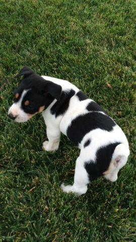 Decker Rat Terrier Puppy For Sale In Hollister California
