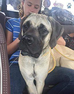 DELILAH English Mastiff Young Female
