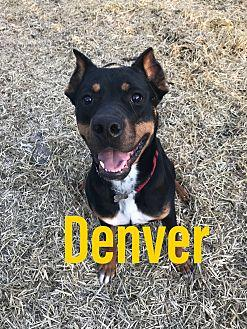 Denver Rottweiler Young Male