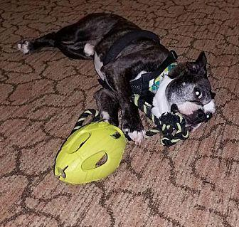 Derby Densmore NC Boston Terrier Adult Male