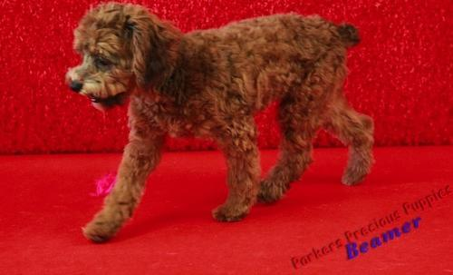 Designer Breed Small Puppy For Sale Adoption Rescue For Sale In