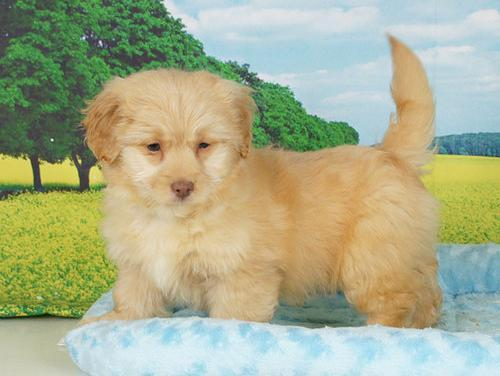 Designer Breed Small Puppy for Sale - Adoption, Rescue