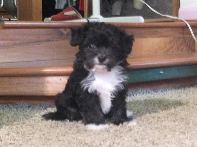 Designer Maltesechihuahua Malchi Puppies For Sale In Dayton Ohio