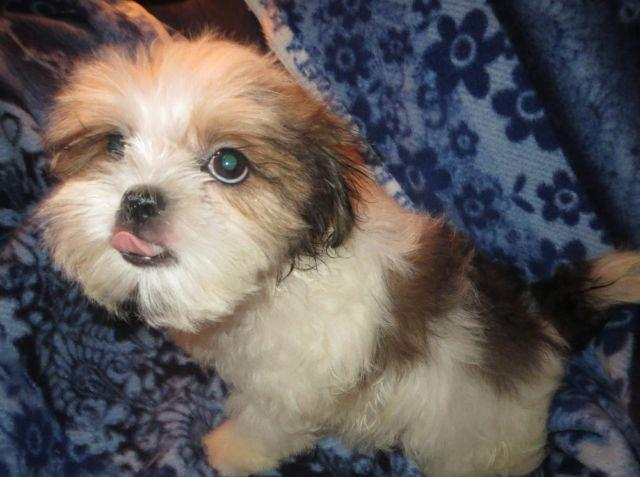 Designer Puppies (Mal-Shi) cross between Maltese & Shih
