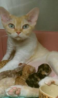 Devon Rex Kittens 4 MONTHS for Sale in Yorktown, New York ...