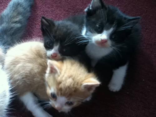 Devon Rex Kittens For Sale Petfinder