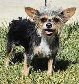 Adult spayed yorkies for sale picture 4