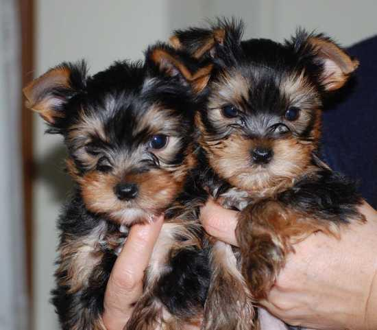 Dgets Cute Mf Yorkie Puppies In Need Home 12 Weeks Old Now For Sale