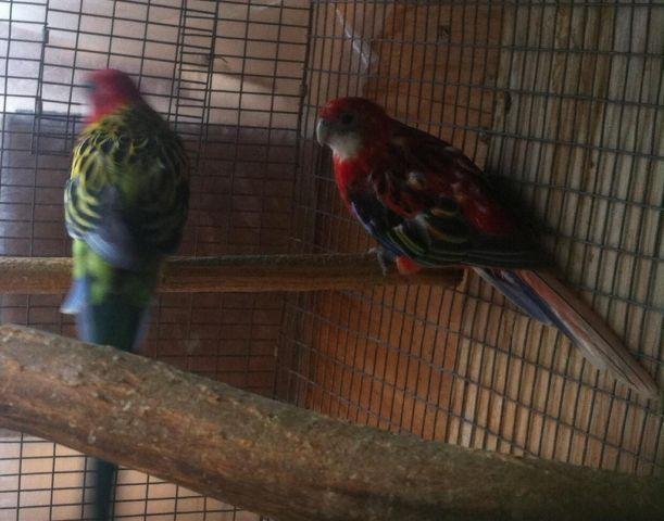 Diamond Doves Red Rumps Lovebirds Rosella For Sale In Tracy