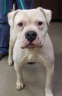 Diesel American Bulldog Young Male