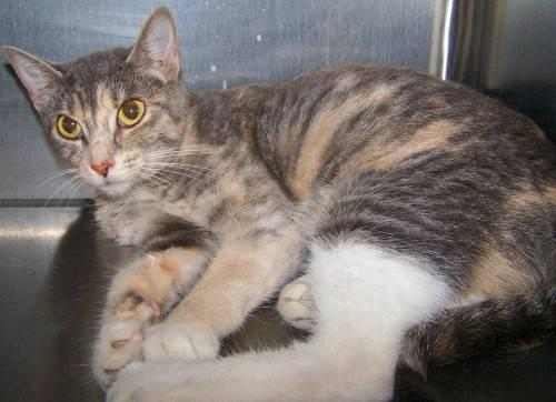 Dilute Calico Cheyanne Medium Adult Female Cat For Sale In Grand Forks North Dakota