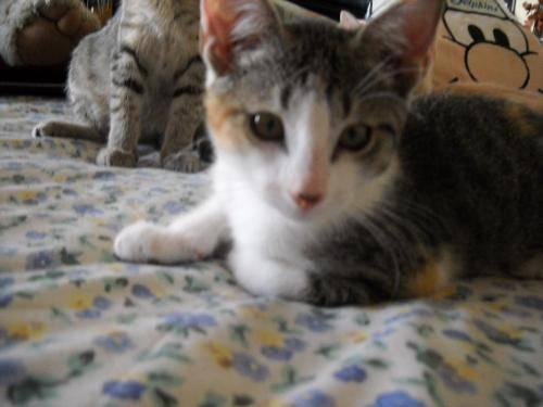 calico persian kittens for sale