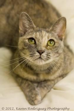 Dilute Calico - Kristin - Small - Young - Female - Cat