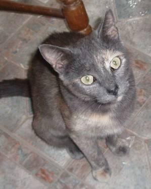 Dilute Calico - Marge - Medium - Baby - Female - Cat