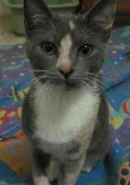 Dilute Calico - Rosie Lynn - Small - Young - Female -