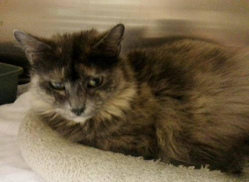 Dilute Tortoiseshell - Sasha - Medium - Adult - Female