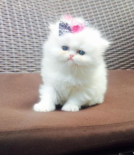 Diplomatic male and female Persian kittens for sale
