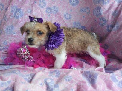 Discounted Caitlyn Female Designer Pup Chorkie &