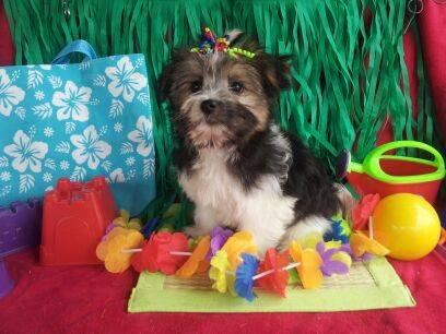 Discounted Cajun Special Designer Pup Chorkie- Maltese