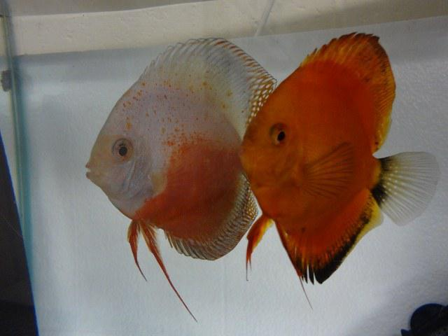 Discus fish breeder for sale in antioch california for Live discus fish for sale