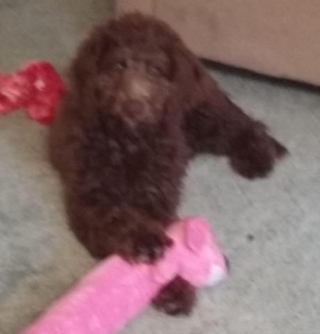 Dixie F1b Chocolate Labradoodle