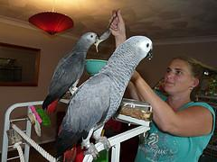 DNA Tested Adorable Congo African Grey Parrots.text