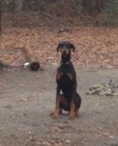 Doberman 1 Yr old in Feb Female