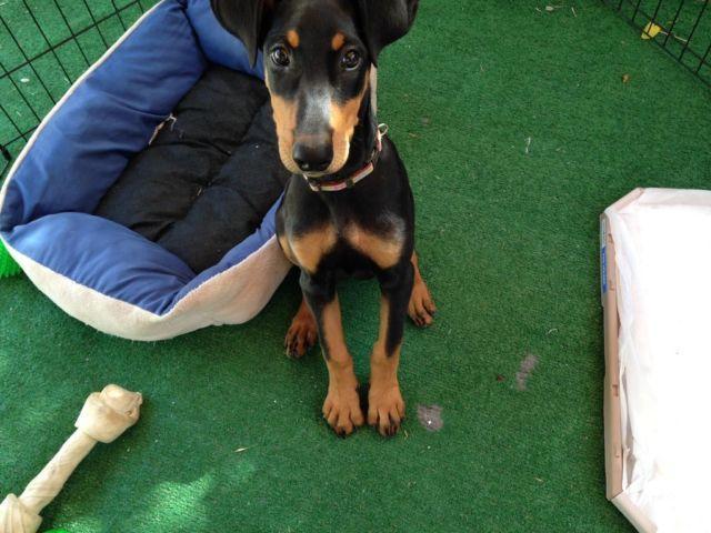 Doberman Pinscher Puppy For Adoption 4 Months Old For Sale In