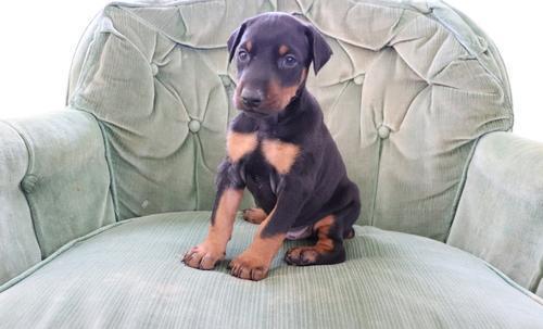Doberman Pinscher Puppy For Sale Adoption Rescue For Sale In
