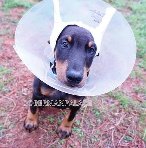 Doberman Pinscher Puppy for Sale - Adoption, Rescue