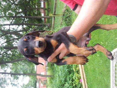 Doberman Pinscher Pups For Sale In Toledo Ohio Classified