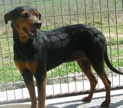 Doberman Pinscher Reba Large Adult Female Dog For Sale In Devine Texas Classified