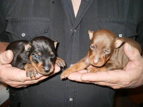 Doberman Pinscher - Yankee - Extra Large - Adult - Male - Dog for Sale