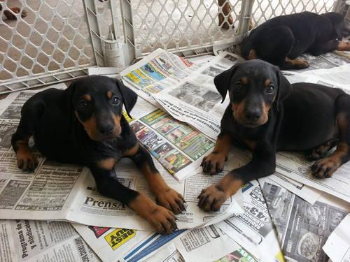 Doberman Puppies! for Sale in Houston, Texas Classified
