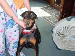 Doberman puppies for sale - $300 (batavia iowa)
