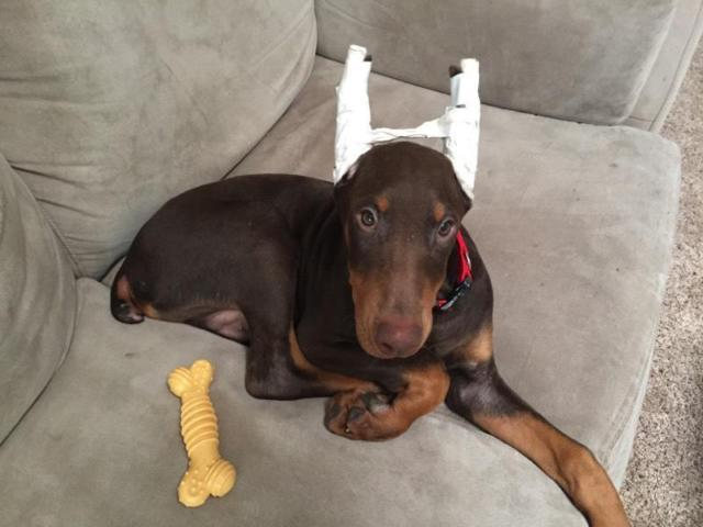 doberman-puppy-with-cropped-ears-america