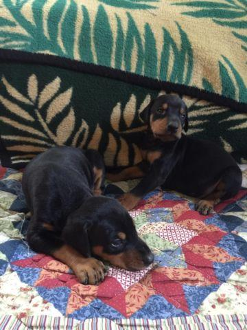 Doberman pups price reduced