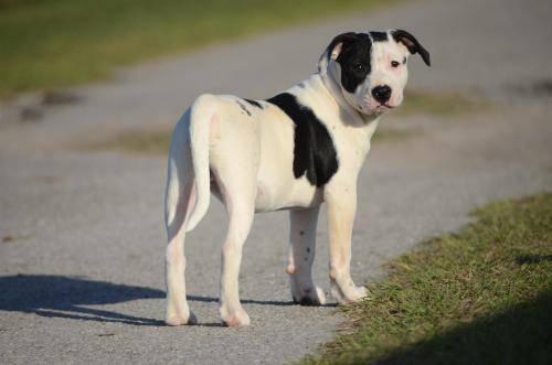 Dogo Argentino - Cruiser - Extra Large - Baby - Male - Dog ...