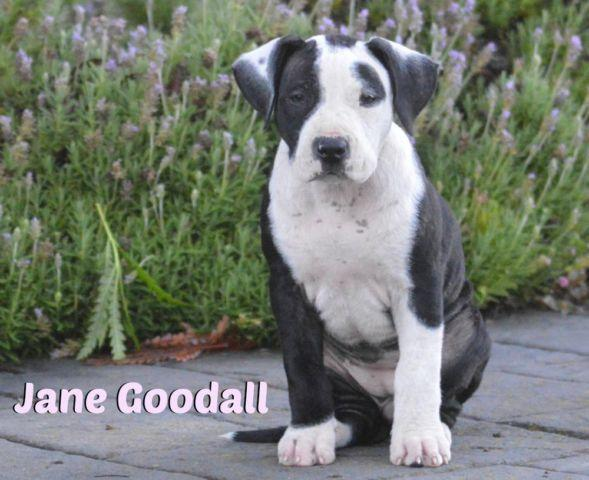 Dogo Argentino/Pit Bull RESCUE puppies for Sale in Canoga Park