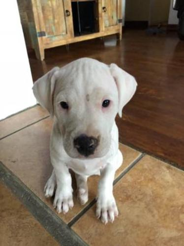 Argentine Dogo For Sale In Florida Classifieds Buy And Sell In