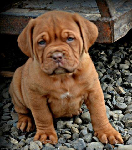 Dogue De Bordeaux Aka French Mastiff Puppies