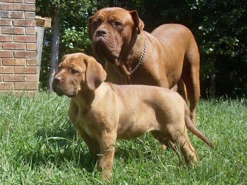 Dogue De Bordeaux Puppies French Mastiff Akc For Sale In Brook Cove North Carolina Classified Americanlisted Com