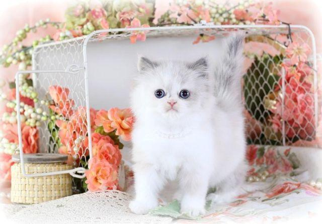 Doll Face Himalayan Kitten for Sale for Sale in Martinstown